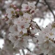 Los cerezos en flor anuncian en Washington la llegada de la primavera