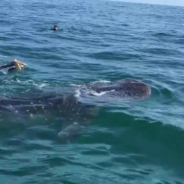 La belleza del tiburón blanco