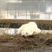 Una osa polar recorre cientos de kilómetros buscando comida